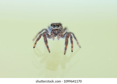 a macro image of a jumping spider