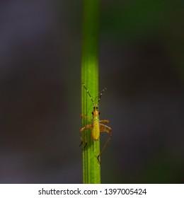 Macro image of katydid nymph