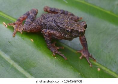 macro image of Kinabalu Slender Toad - Ansonia hanitschi