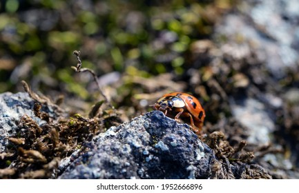 Macro image of a Ladybird on a rock covered with moss and lichen. Insects in nature.