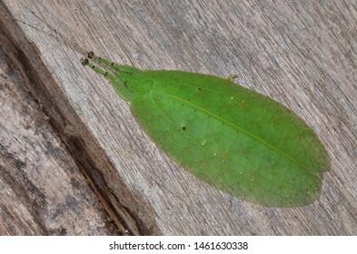 macro image of a Leaf Katydid