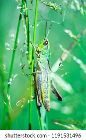 Macro image of a locust sitting in the grass, perfectly vertical with nice details and texture.
