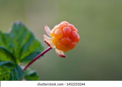 A macro image of a lovely ripe cloudberry (Rubus chamaemorus). Season: Summer. Location: Western Siberian taiga.