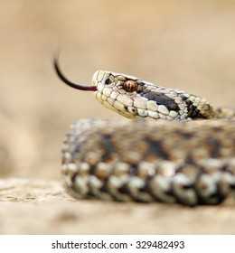 macro image of a meadow viper, Vipera ursinii rakosiensis, elusive snake, the most endangered reptile from Euope