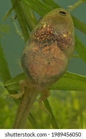 Macro image of metamorphosing juvenile green frog reaching out of the water to take the first air taken from under water