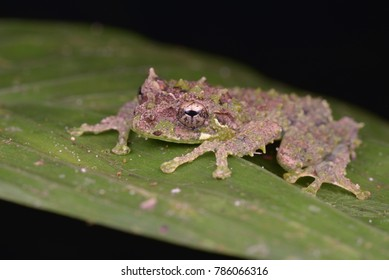 macro image of a Mossy Tree Frog from Borneo
