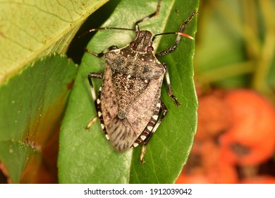 Macro image in natural light of isolated specimen of Brown marmorated stink bug, scientific name Halyomorpha halys, photographed on a green leaf with natural background.