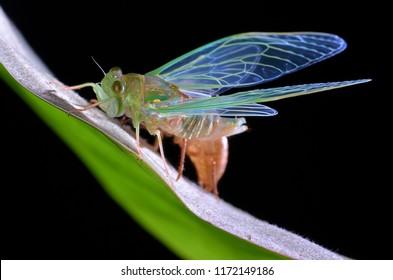 Macro image of a newly emerged cicada
