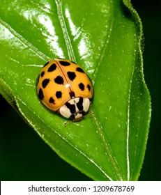 Macro image of a orange  Asian lady beetle Ladybug ((Harmonia axyridis),with black spots, on a green Hibiscus leaf.