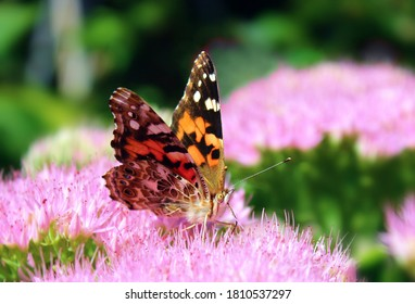 Macro image of Painted Lady Butterfly