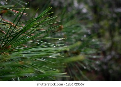 Macro image of pine needles after a rain shower in Flagstaff, AZ, USA.