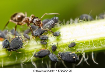Macro image of a red ant feeding on honey droplets extracted from aphids