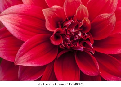 Macro image of a red dahlia flower in fresh blossom isolated