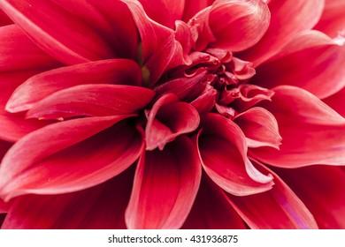 Macro image of a red dahlia flower