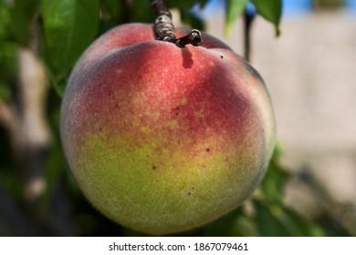 Imagen macro de un durazno maduro en la rama del árbol.