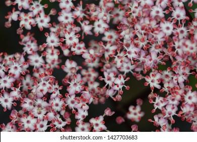 Macro image of sambuca flowers in a garden