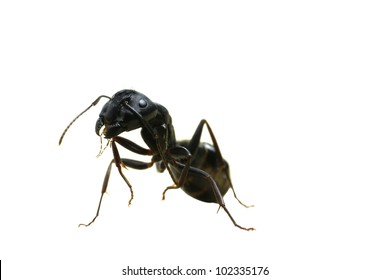 A macro image of a scary carpenter ant standing on its back legs