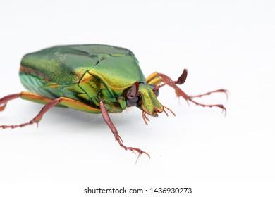 Macro Image of shiny green scarab beetle of Sabah, Borneo Isolated on White