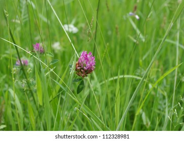 Macro image showing a grassy field, with red clover in bloom