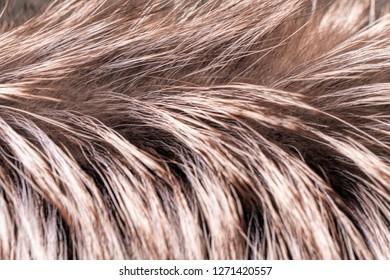 Macro image of silver fox fur. Close up