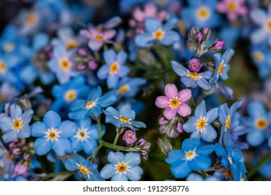 Macro image of spring blue forget-me-nots flowers, abstract soft floral background.