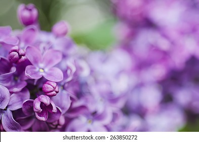 Macro image of spring lilac violet flowers, floral easter background