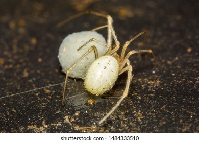 A macro image of a tiny Enoplognatha sp. (lineata form) spider protecting her Egg Sac. This one was living in a compost bin where flies provide food. The danger lies in humans adding waste to the bin.