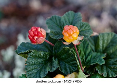 A macro image of two ripening cloudberries (Rubus chamaemorus). Season: Summer. Location: Western Siberian taiga.
