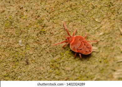 A macro image of a Velvet Mite, Trombidium sp. in the Order Acari. These are parasites when  immature and predators and scavengers as adults.
