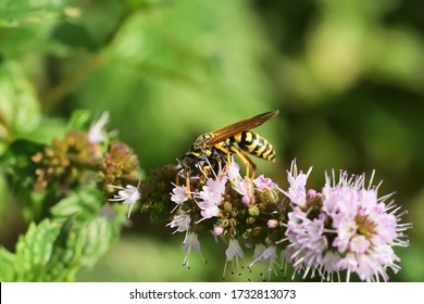 Macro image of a Vespula germanica (European wasp, German wasp) on wild mint flowers.