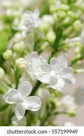Macro image of white lilac flowers