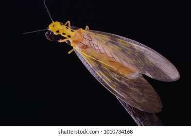 macro image of a yellow dobsonfly isolated on black background
