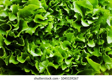 Macro images of freshly cut curly lettuce washed and ready to eat.