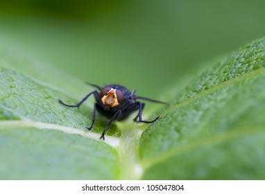 macro. insect - a fly
