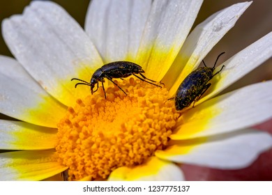 Macro of insects on a daisy