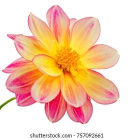 Macro of an isolated dahlia flower blossom