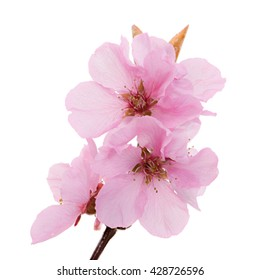 Macro of isolated pink peach blossoms