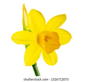 Macro of a isolated yellow daffodil flower blossom