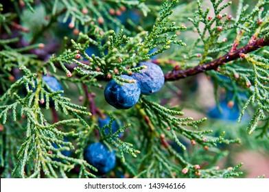 Macro juniper