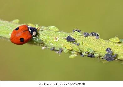 Macro of ladybug (Adalia bipunctata) eating aphids on stem