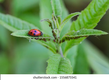 macro of a ladybug (coccinella magnifica) on verbena leafs eating aphids; pesticide free biological pest control through natural enemies; organic farming concept