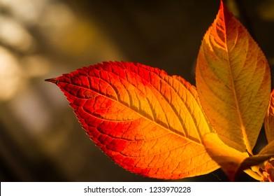 Macro of a leaf of Hydrangea in fall season
