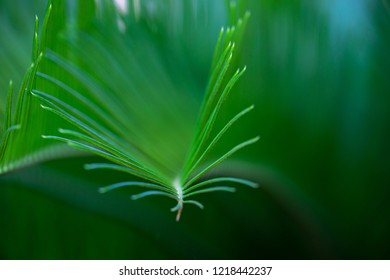 Macro leaves Sago Palm green background