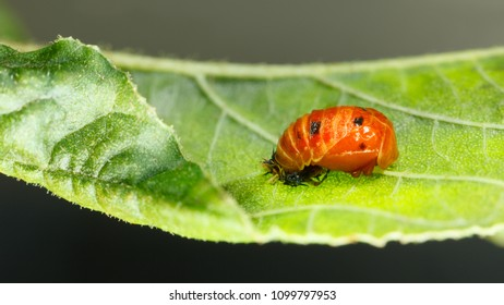 Macro low angle side view of ladybird red pupa (Coccinellidae, Coccinella), metamorphosis pupal stage