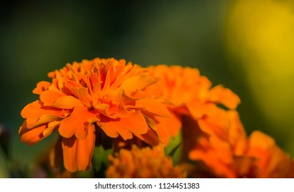 Macro of a marigold in the last Sunbeams of the evening