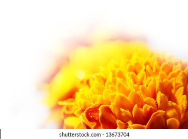 macro of a merrygold flower over white background (shallow DOF)