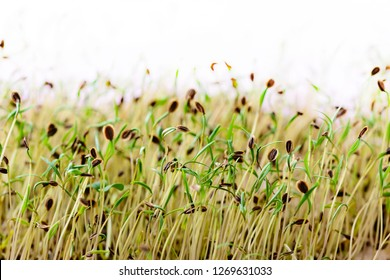 Macro microgreens. Background of microgreen. dill sprouts. green textural background of natural greens. Copy Space