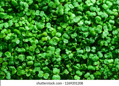 Macro microgreens. Background of microgreen. mustard sprouts. green textural background of natural greens