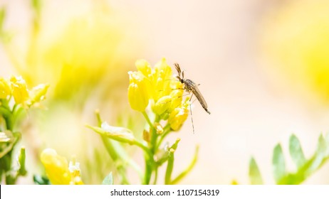 Macro of a Midge Pollinating a Wildflower on the Pawnee National Grasslands in Colorado