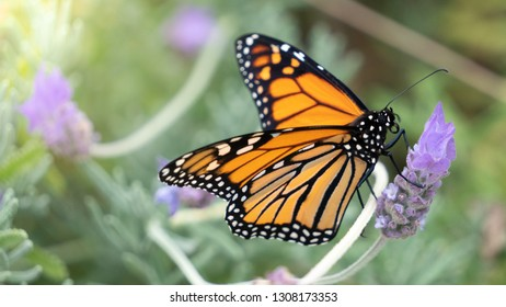Macro of Monarch Butterfly Feeding on Lavender Nectar Horizontal with Selective Focus